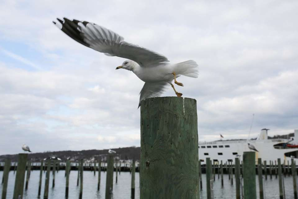 A seagull takes flight at the Port Jefferson