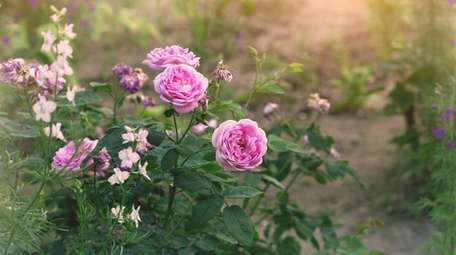 The roses are blooming in June.