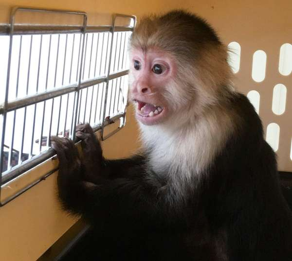 Luna, a White-Faced Capuchin monkey removed from a
