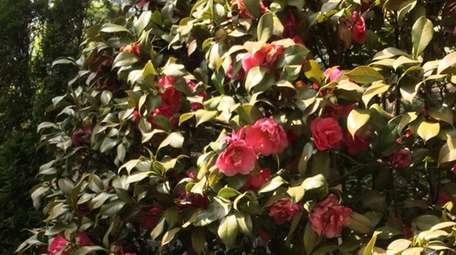Camellia japonica is a southern favorite that can