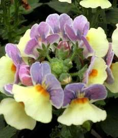 With fragrant blue-and-yellow, snapdragon-like flowers clustered atop upright