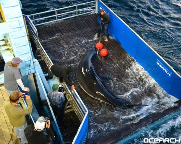 OCEARCH, a research and educational nonprofit, monitors some