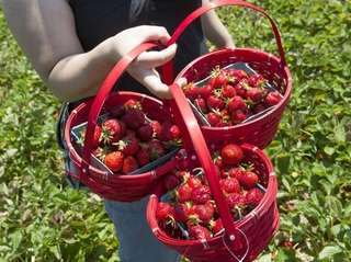 Strawberries just picked at pick your own strawberries