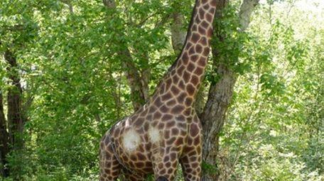 People walk past a lifelike wooden giraffe that