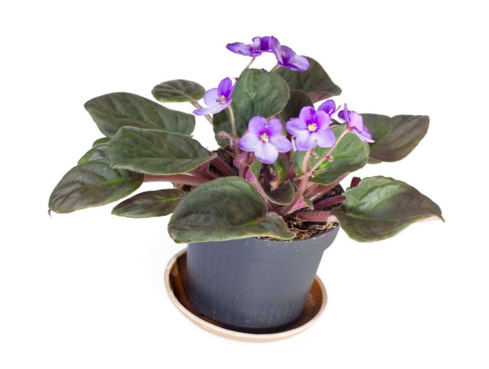 SWEETWATER AFRICAN VIOLET SOCIETY, 631-589-2724, avsa.org Meets 7:30