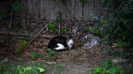 A feral cat is seen behind a CVS