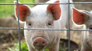 Farmingdale Village residents can't consider pigs as mankind's