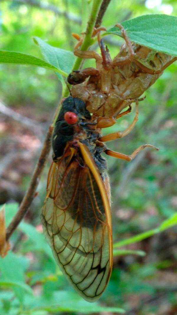 A 17-year cicada molts at the brood's temporary