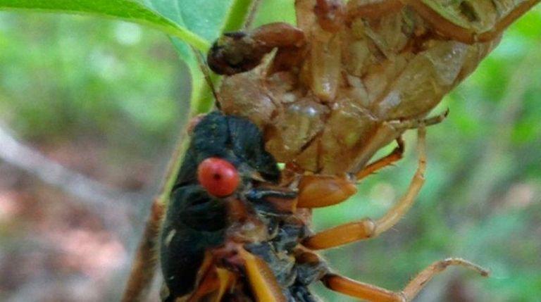 A 17-year cicada molts at the brood's temporary