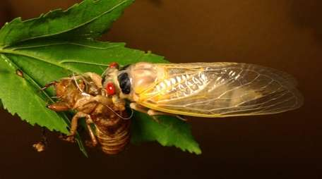 A 17-year cicada molts in a tree at