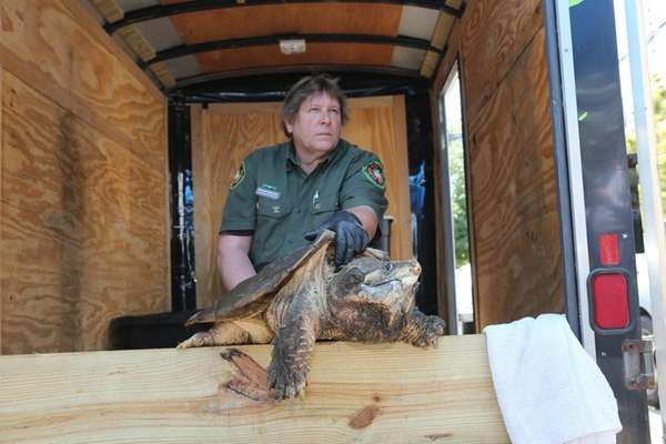 An alligator snapping turtle is removed Tuesday, June