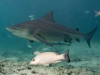 Bull sharks swimming in Bimini, Bahamas, in a