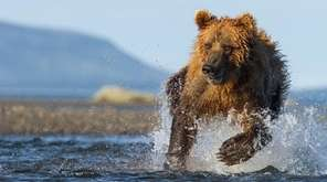 A brown bear hunts for salmon in Alaska's