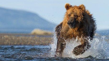 A brown bear hunts for salmon in Alaska's