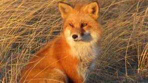 A red fox sits in the sun at