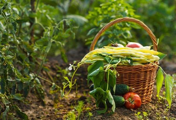Gardeners harvesting summer's bounty should also be planting