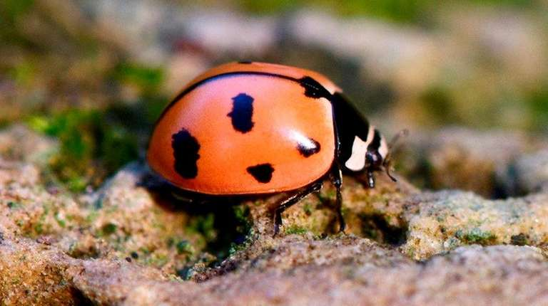 A nine-spotted lady bug, or Coccinella novemnotata, is