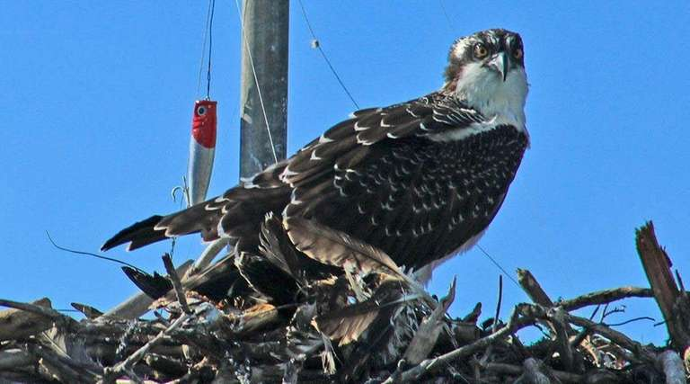 A young osprey sits with a fishing line