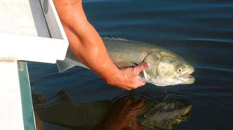 A bluefish is released back into Long Island