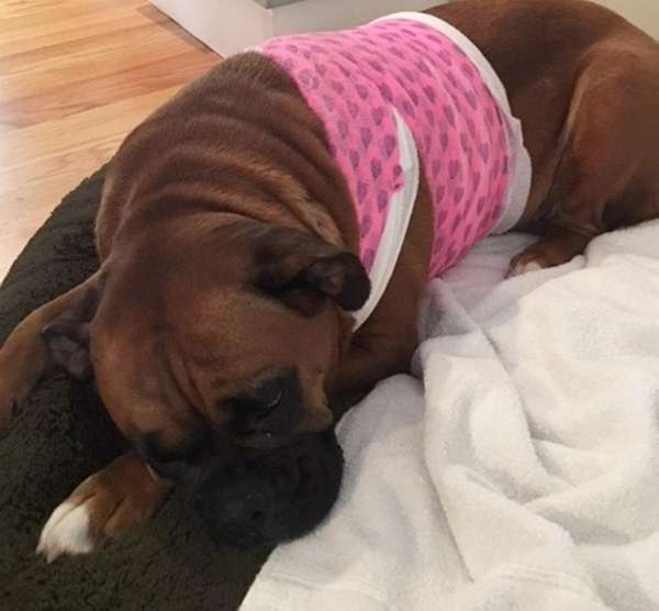 Bella, a 3-year-old boxer, is recovering from bites
