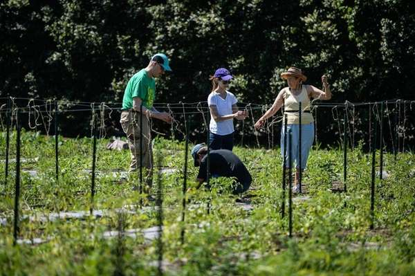 Volunteers help tie tomato plants onto a trellis