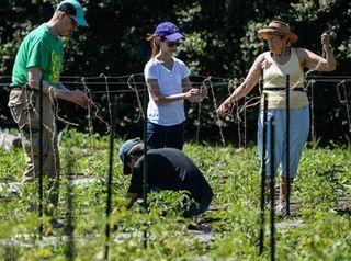 Volunteers help tie tomato plants onto a trellis