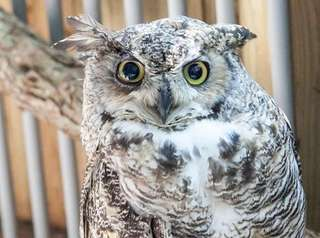 Hooter, a great horned owl, found a home