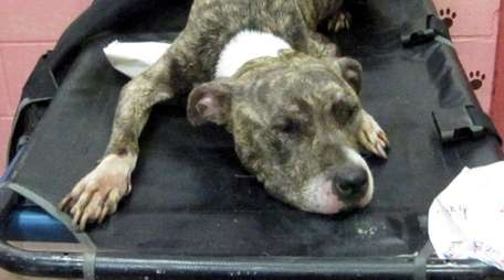 This terrier-pit bull mix, named Terry by district