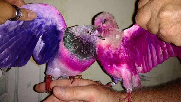 Two pigeons, dyed pink and purple, were found