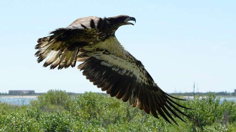 This juvenile bald eagle was released in Lazy