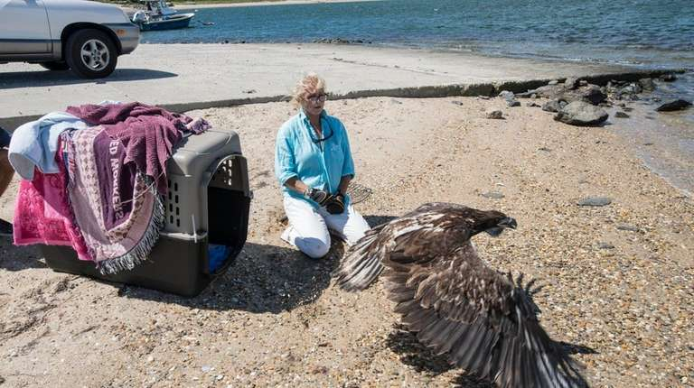 On 8-17-16,This juvenile Bald Eagle was released by