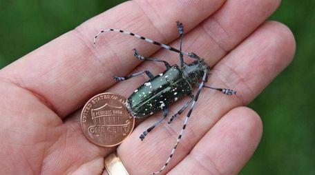 An Asian longhorned beetle (Anoplophora glabripennis) infestation was