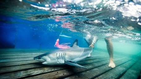 A 5-foot, 67-pound baby white shark was tagged