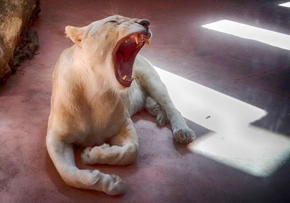A female white lion named Ivanna yawns on