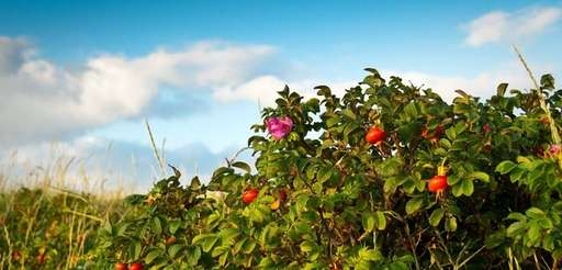 Stop deadheading roses if you want hips