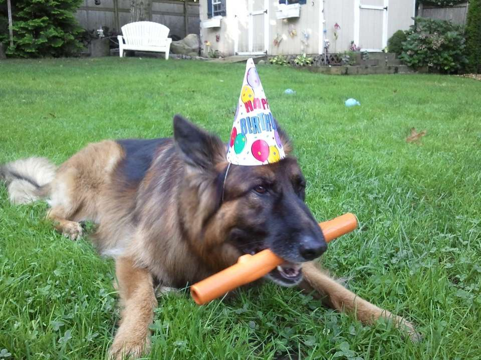 Ludwig, 11 year old long-haired German Shepherd Dog,
