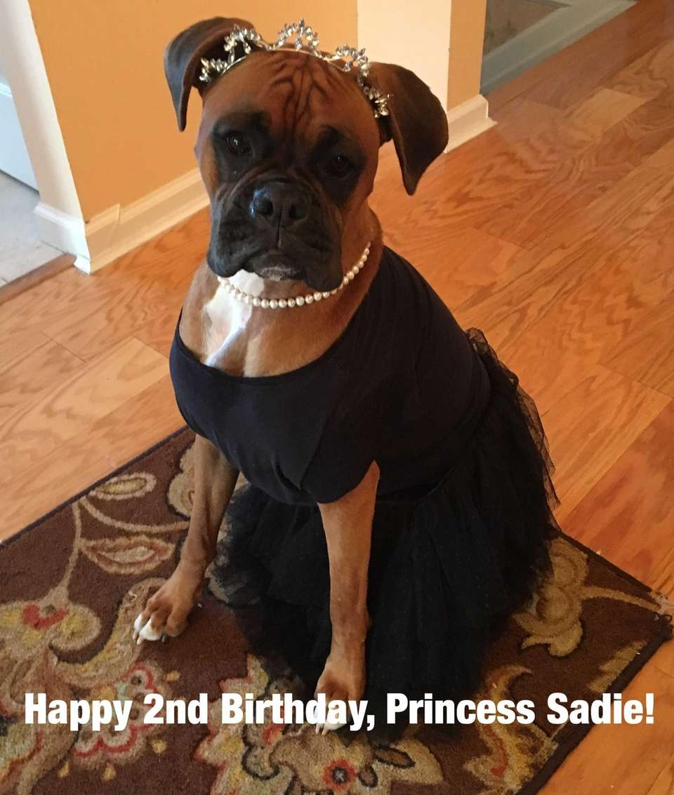 Our boxer, Sadie, is all dressed up to