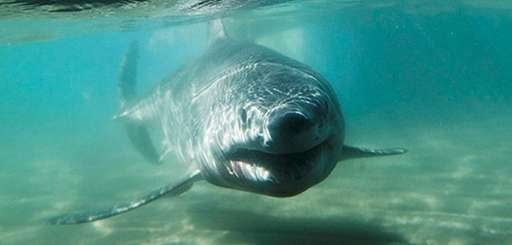 A young great white shark, 5-foot long and