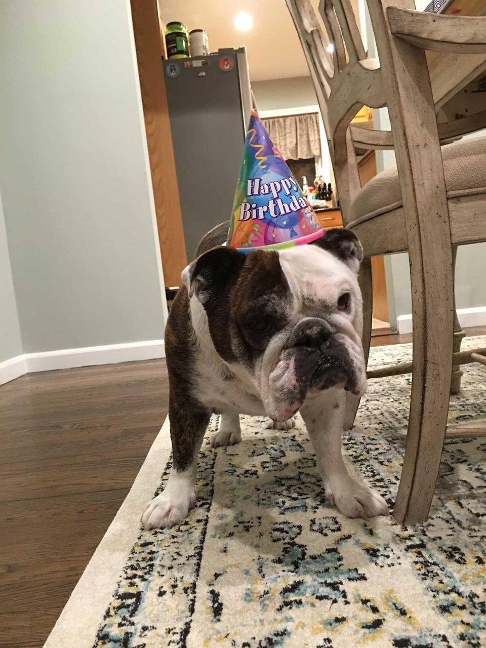 Our bully dog Lilos birthday