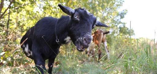 Goats used by the New York State DEC