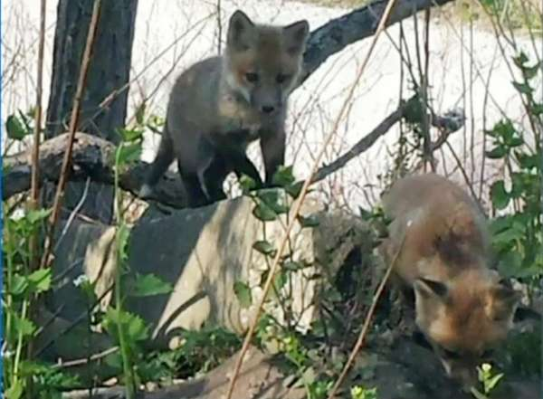 Officials in Merrick say red foxes have taken