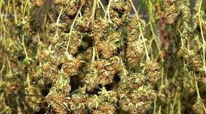 A first harvest of cannabis plants for medical