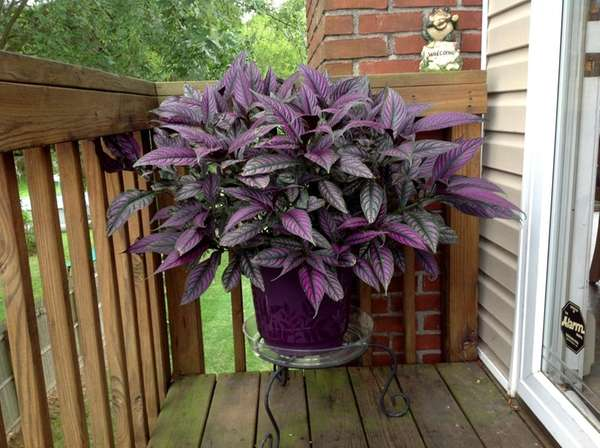 Persian shield is a dramatic tropical plant that
