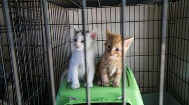 Two of the 20 kittens being housed at