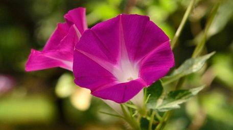 Flowering morning glory.