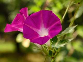 Flowering morning glory.