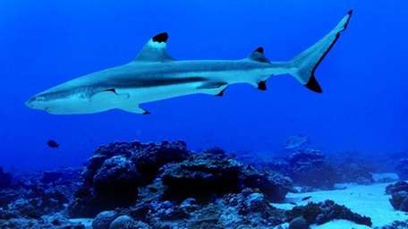 Palmyra Atoll, Pacific: A blacktip reef shark in