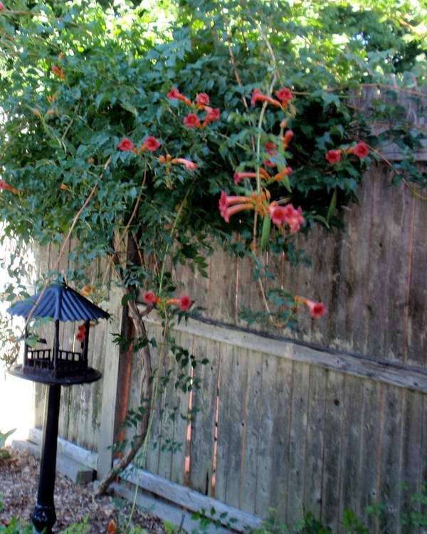 Trumpet vine in an extremely aggressive climbing plant