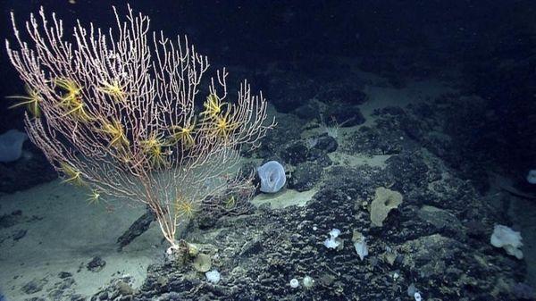 Corals on Mytilus Seamount off the coast of