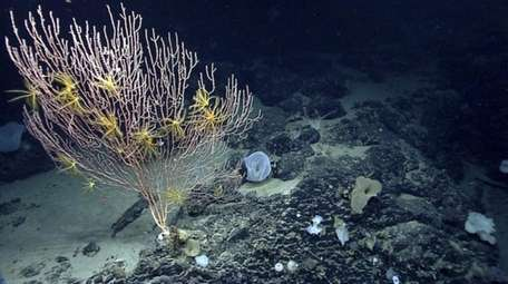 Corals on Mytilus Seamount off the coast of